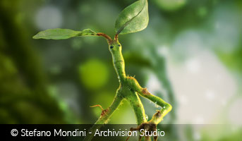 Pickett Bowtruckle by Stefano Mondini
